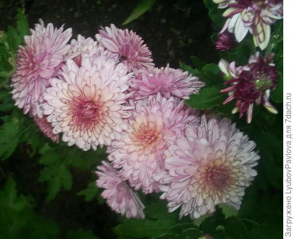 Этот приобретён мелким росточком, какие показаны на 1-2 фото, у соседки. У неё цветок вымерз зимой, а меня он радует красивым цветением.то