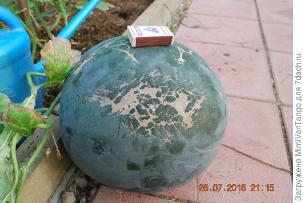 """""""Шуга""""-достаточно крупные,урожайный сорт для теплиц."""