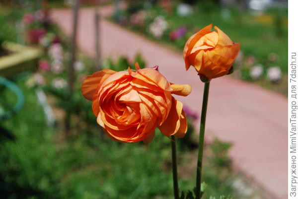Вот такие,лютики-цветочки.