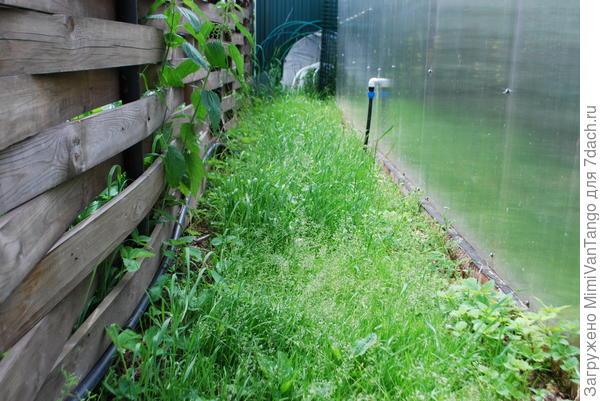 Между забором и теплицей тоже заросло.