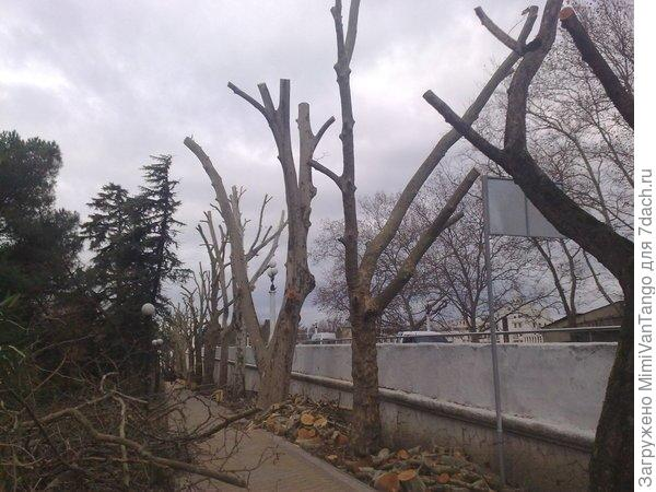 Вот так выглядят деревья после кронирования.