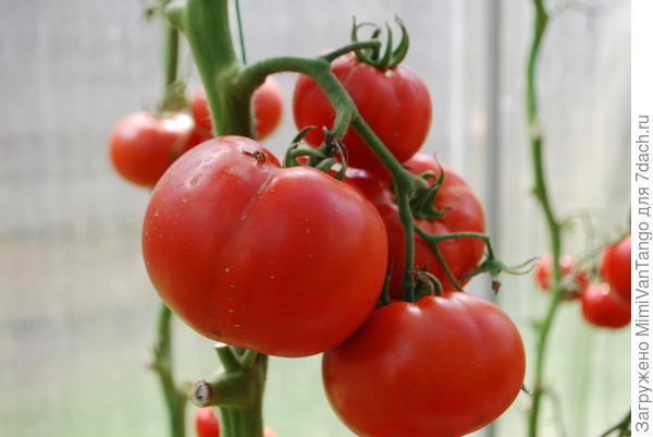 А это томаты в теплице.
