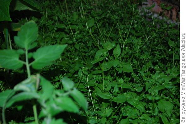 Вот фото из моей теплицы,мокрица и помидоры.Там ещё и базилик растёт...