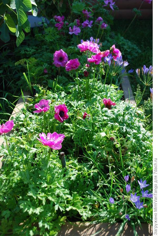 Анемоны не перестают радовать своим дружным цветением с июня.