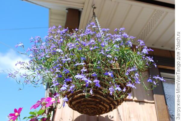 Красавица лобелия цветет по всему участку самосевом с прошлого года.