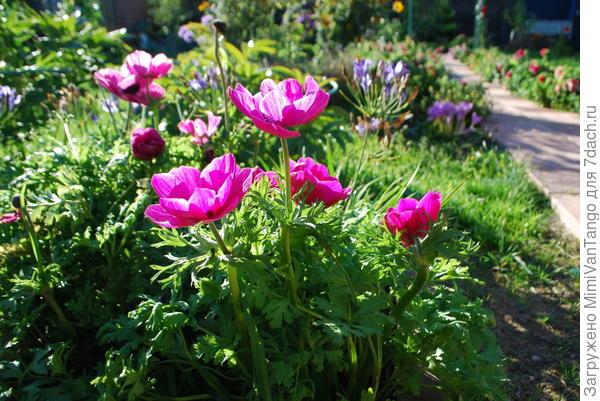 Правее анемон,слева от дорожки,виднеется кустик сиреневых цветов(безвременник,который цветёт только осенью,специально взял в кадр)