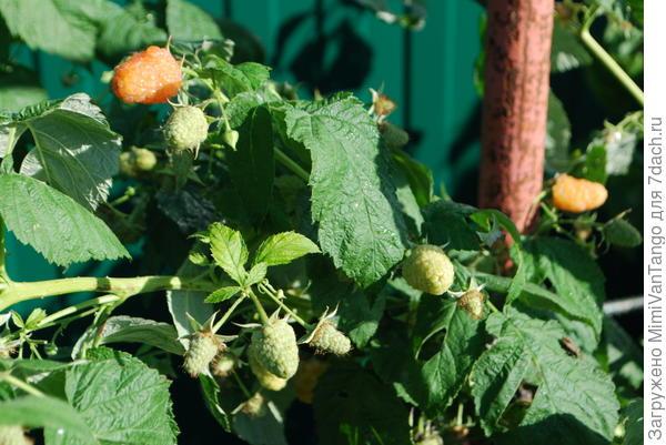 """Так выглядит """"Оранжевое чудо"""" на сегодняшний день,а уже пробежали первые заморозки(малина была срезана осенью)."""