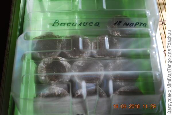 Подписываю название сорта и дату посева.Накрываю посевы прозрачным колпаком.