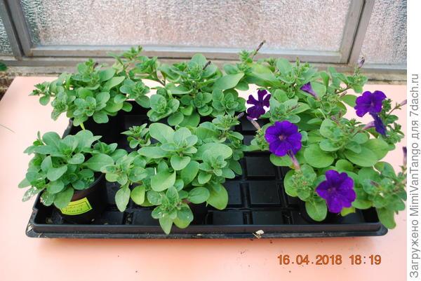 14 апреля раскрылся первый цветок.
