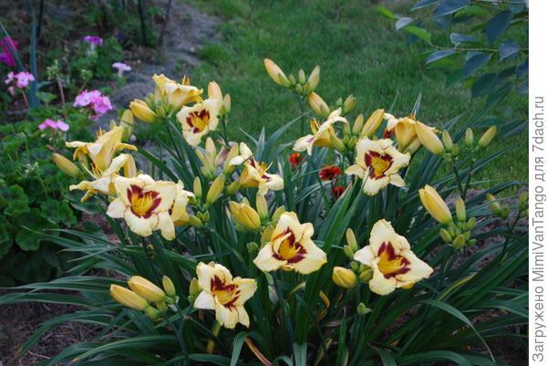 Взрослые кусты цветут достаточно долго.