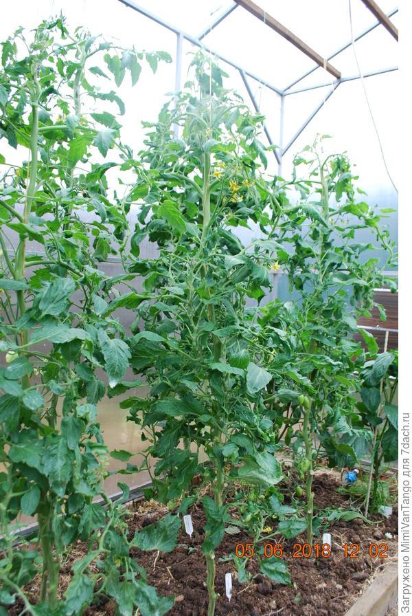6 июня растения уже заметно подтянулись.