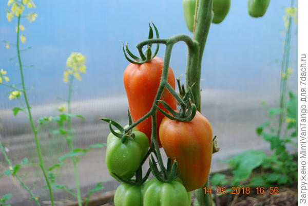 Скоро отведаем.Хоть как и всегда много ошибок наделал,но урожай будет.Самое главное для нашего климата-ранний!