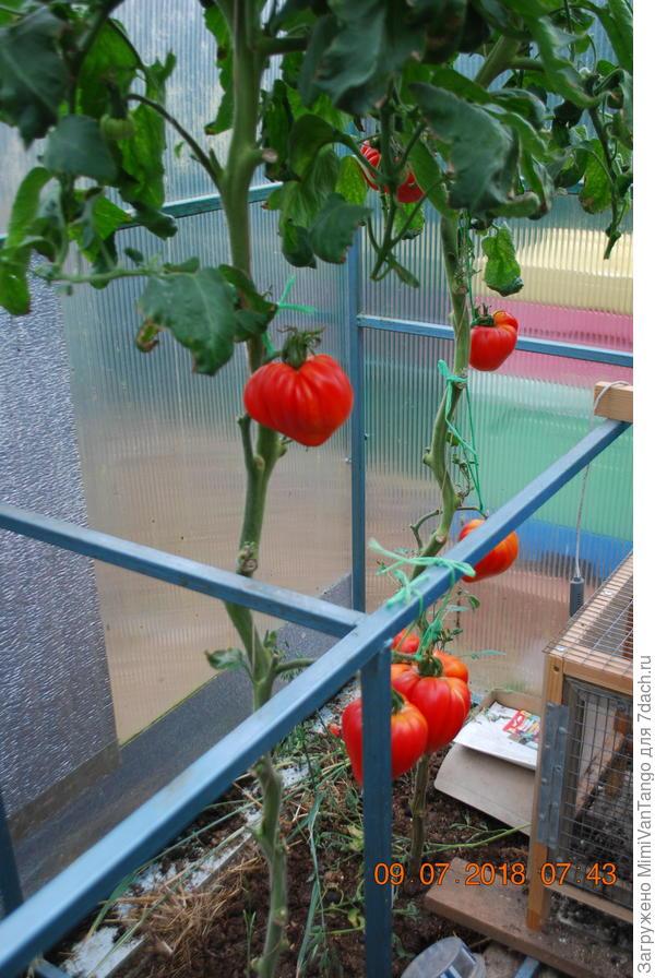 Я пытался вырастить крупные плоды и нормировал кисти.Оставлял по одному,максимум два плода на кисти,на кусту всего 5-7 плодов.