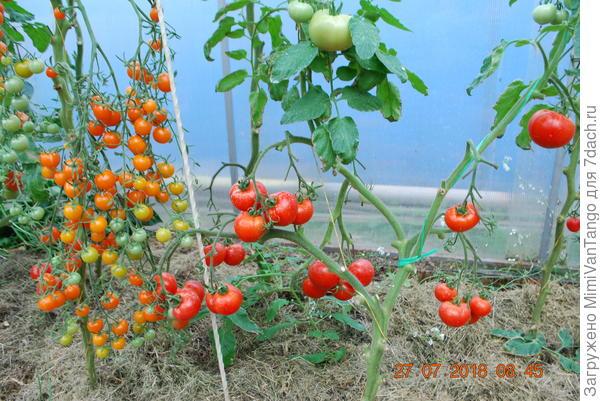 Куст №1 со зрелыми плодами.