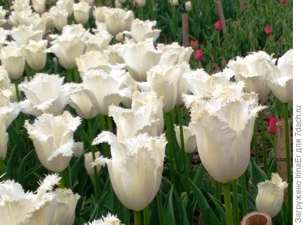 Голландия- вторая родина тюльпанов