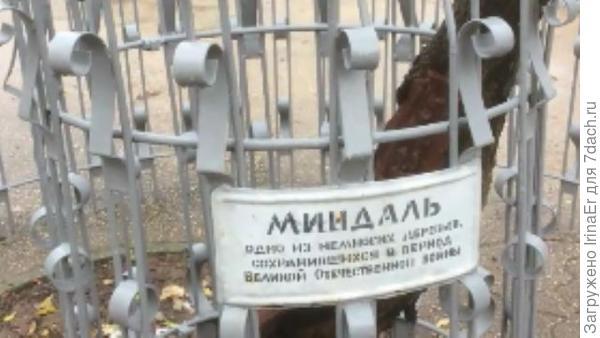 Миндаль, который помнит подвиг второйц обороны Севастополя