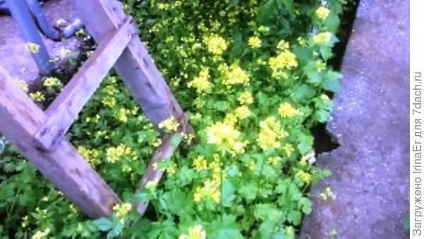 Горчица растет до цветения
