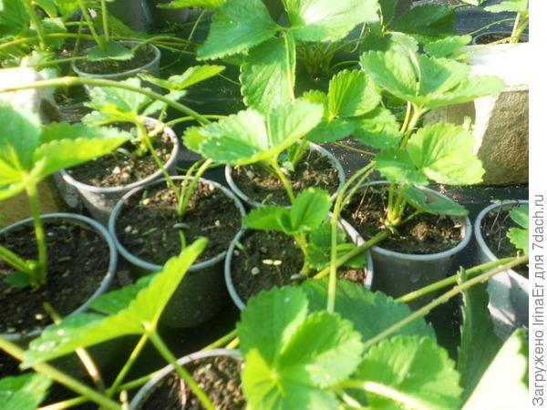 Рассада земляники садовой