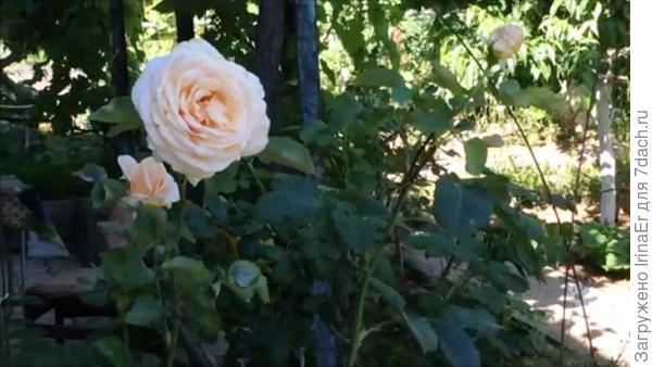 Повторное цветение розы