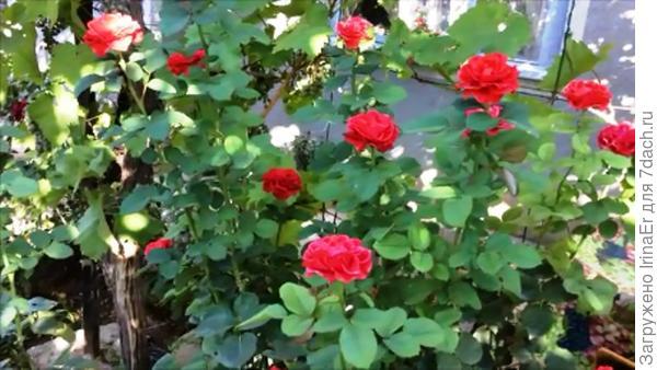 Розы цветут второй раз