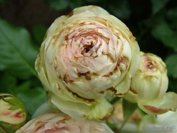 Поражение бутонов розы трипсами