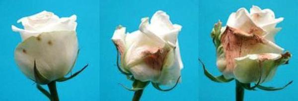 Поражение серой гнилью на бутонах розы