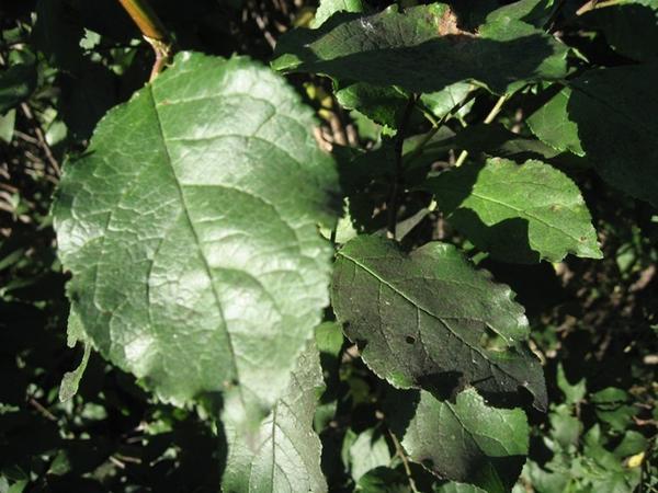"""Грибок аспергиллюс (""""сажистый"""") на листьях сливы"""