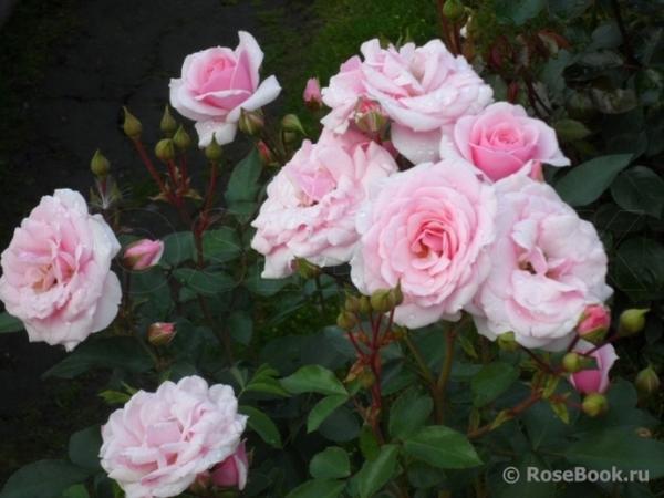 Роза Diadem