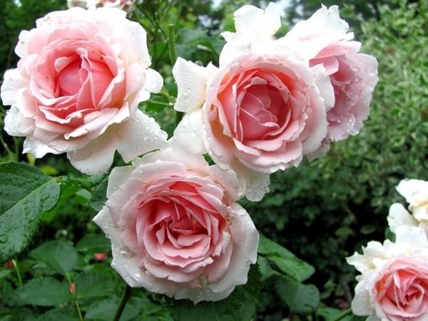 Роза Ballade