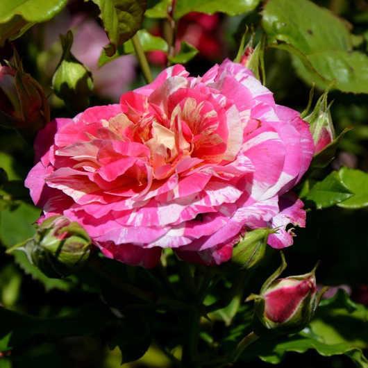 Роза Roudelet Felibren