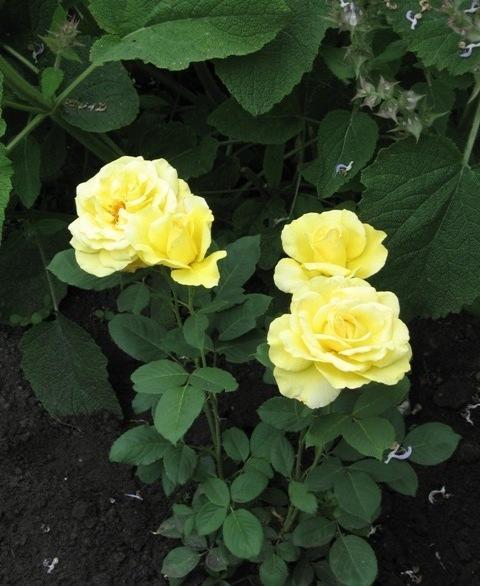 Первое цветение - саженец розы Голд Стар