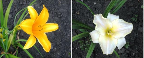В конце июля я наконец-то увидела цветки, сюрприз удался :-)