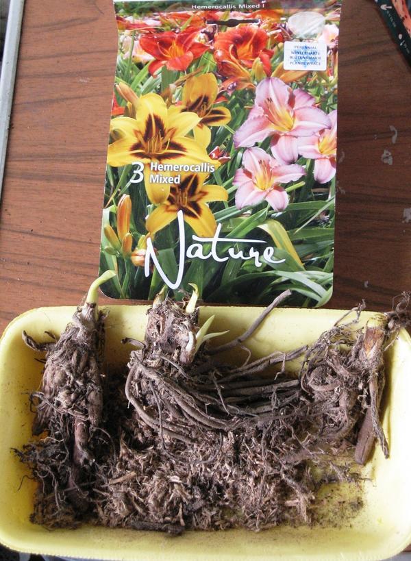 Упакованы корни были во влажные опилки, хорошо развитые, с проросшими побегами
