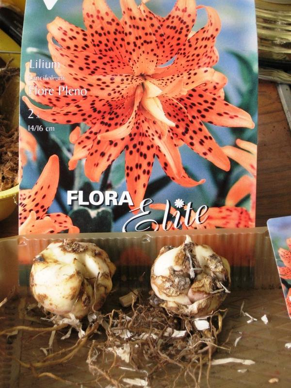 Лилия Спишиз Флоре Плено (Species Lancifolium Flore Pleno)