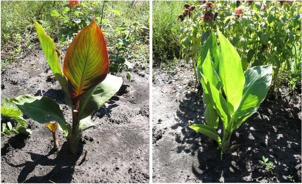 В процессе вегетации канны стимулировались Цирконом, получали азот, кальций, калий, фосфор, обрабатывались от вредителей и болезней.