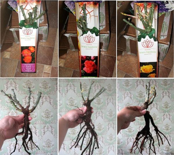 Вид саженцев роз при получении