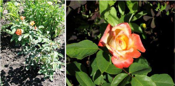 Конец июня. Первые цветки