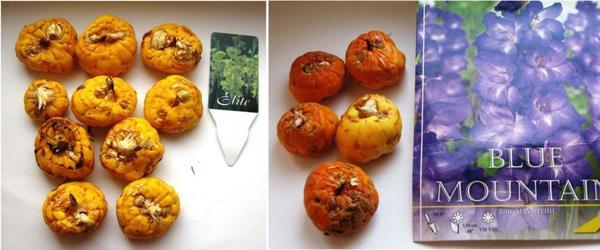 Луковицы гладиолусов при получении