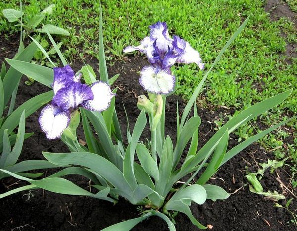 Ирис интермедиа Реа Эдишн (Iris Rare Edition)