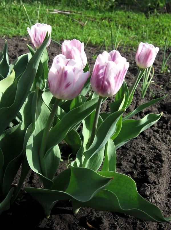Тюльпан Фламинг Флаг (класс Триумф)