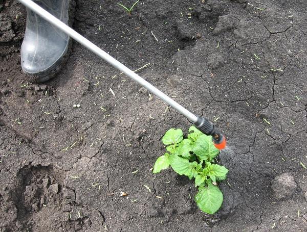Обработка картофеля  препаратом ИСКРА