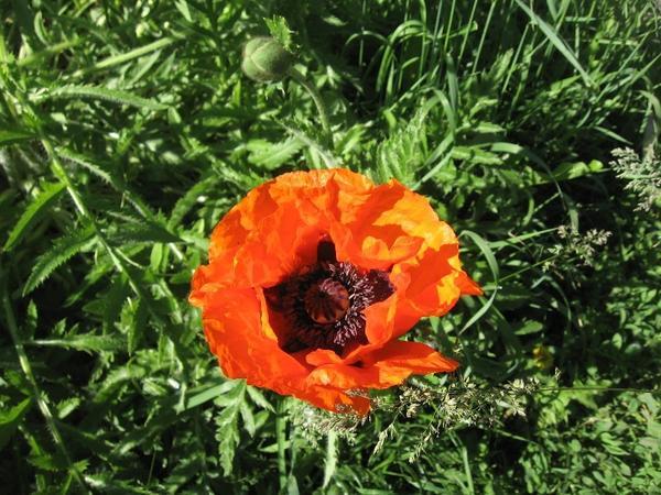 Распустился первый цветок многолетнего мака))