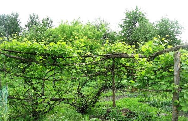 Осмотр винограда обработанного препаратом Искра Двойной Эффект