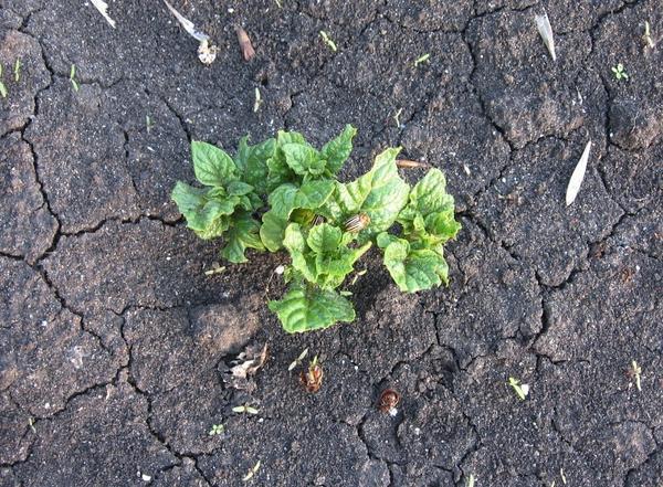 Часть жуков уже лежат под кустов вверх лапками.