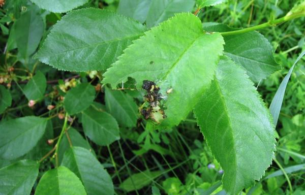 Гусеницы на листьях вишни