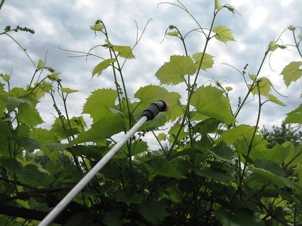 Обработка винограда препаратом Искра Двойной Эффект