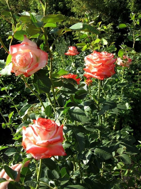 Императрица Фарах, второе цветение
