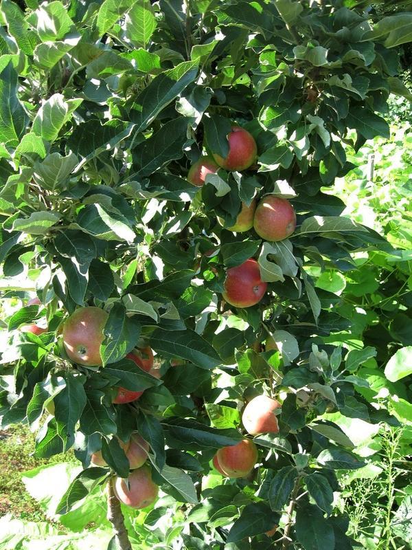 Яблонька-колонна расщедрилась на урожай