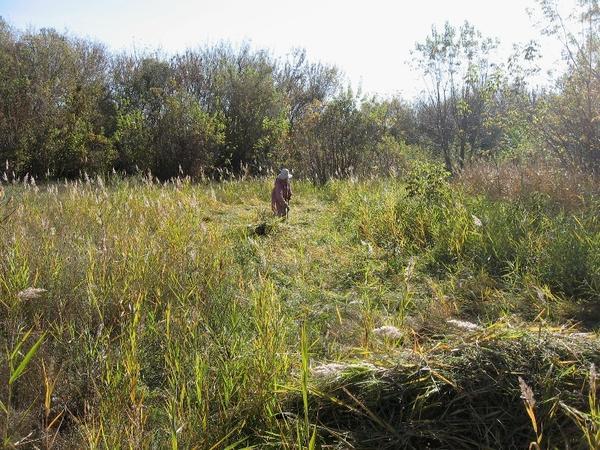 Скосила  немного камышика на лугу, что метрах в 50-ти  от края огорода,  и  на тележке  во двор))