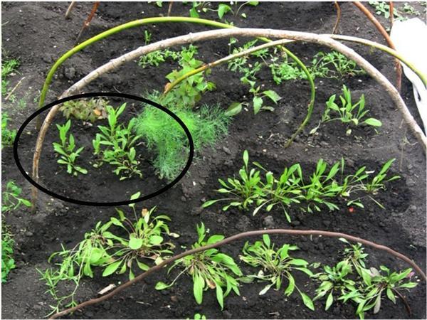 Это фрагмент школки , 2017 год,  посев гелениума  7 марта, высадка 30 мая, такое количество из одного пакетика семян получилось,  3 стаканчика   были с  посевами